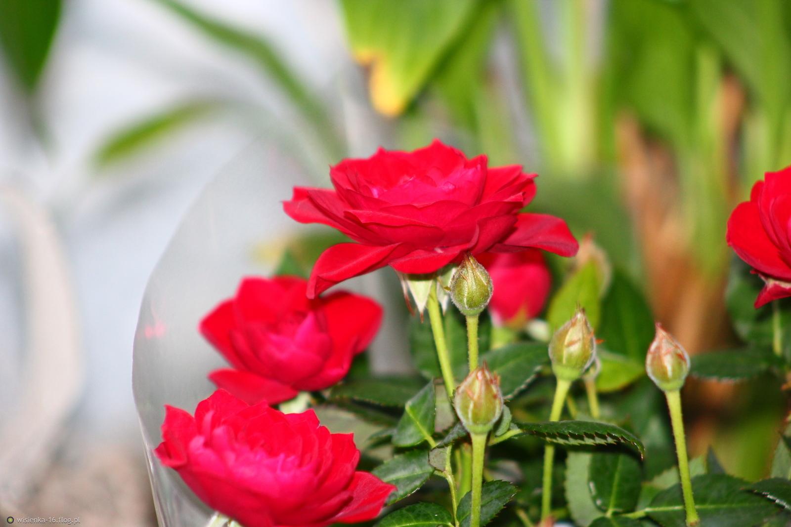 Randki z różyczkami